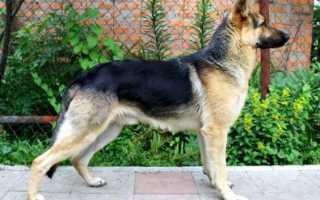 Самые недорогие породы собак