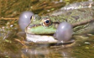 Озерная лягушка фото