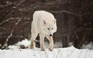 Полярный волк занесен в красную книгу