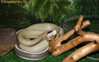 Можно ли приручить змею