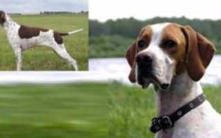 Английский пойнтер: описание породы собаки и стоимость щенков