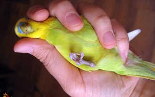 Волнистый попугай болит лапка