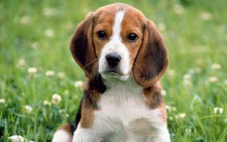 Питомники собак бигль
