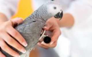 Попугай кашляет — лечение и уход за попугайчиком при кашле