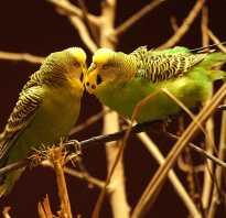 Волнистый попугай: виды, цвета, как выглядят, описание