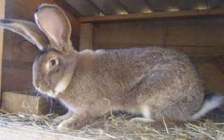 Кролики фландр разведение и содержание