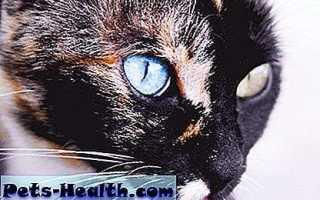 Кот с разноцветной радужкой или секторальная гетерохромия
