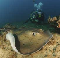 Морской кот: описание и характеристика рыбы, опасность для человека, содержание в неволе