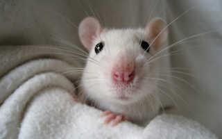 Уход за домашней крысой