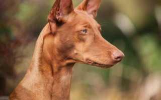 Описание породы Фараонова собака с фото, видео и отзывами