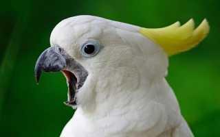 Попугай постоянно кричит что делать