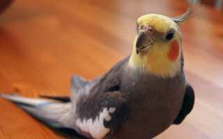 Попугай корелла: как поет и как приручить к рукам, если он кусается и боится
