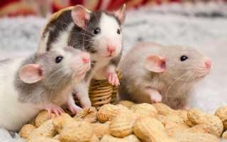 Как ухаживать за декоративной крысой