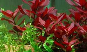 Людвигия аквариумное растение: содержание, виды, фото-видео обзор