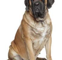 Как выглядит собака мастиф