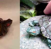 Как мыть черепаху красноухую маленькую