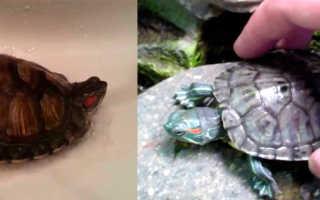 Как помыть красноухую черепаху