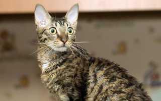 Уральский рекс: описание породы кошек и их темперамента, содержание и уход, особенности разведения