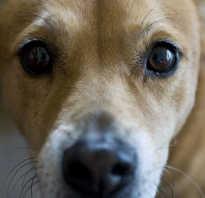 11 болезней глаз у собак: чем лечить, какие лекарствва давать в домашних условиях