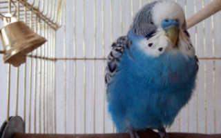 Попугай сидит на дне клетки нахохлившись