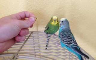 Линька у попугаев волнистых фото