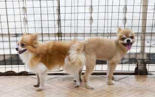 Размножение собак: почему они слипаются и склеиваются при спаривании