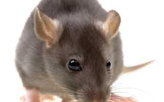 Домашняя крыса фото