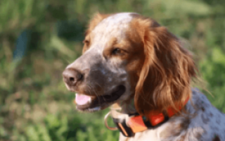 Русский спаниель размеры взрослой собаки