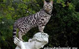 Большие кошки породы ашера