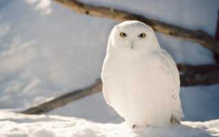 Сведения о полярной сове тундры