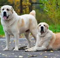 Дрессировка собак алабай