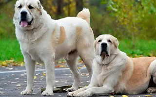 Дрессировка щенка алабая в домашних условиях