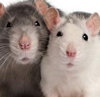 Все о крысах диких
