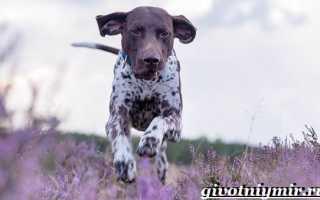 Порода собак пойнтер фотографии