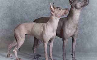 Порода собак из мексики