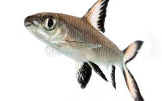Рыба акулий балу