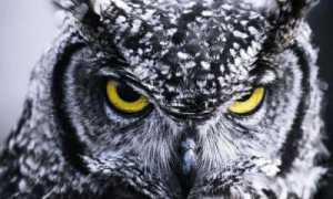 Продолжительность жизни совы