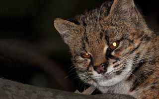 Чилийская кошка или Кодкод (Leopardus guigna): 22 фото, содержание