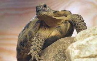Содержание и уход за сухопутной черепахой