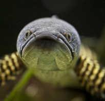 Змейголова рыба фото