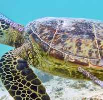 Сколько живет сухопутная домашняя черепаха