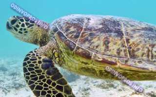 Сколько живут маленькие домашние черепахи
