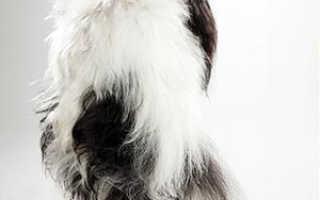 Гаванский бишон: описание породы — Моя собака