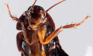 Летающее насекомое похожее на таракана