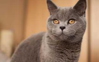 Вислоухие коты британцы и шотландцы: в чем разница,как отличить