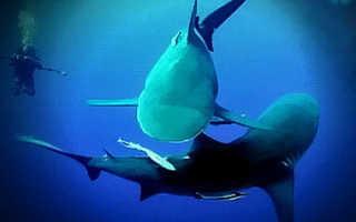 Акулы живородящие или яйцекладущие