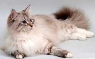 Московская маскарадная кошка описание породы