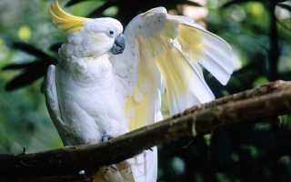 Желтохохлый какаду — описание попугайчика, уход в домашних условиях