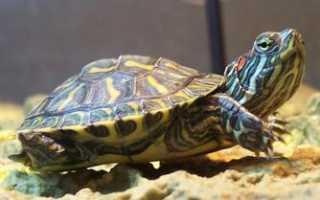 Сколько живут декоративные черепахи