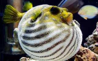 Рыба шар картинки